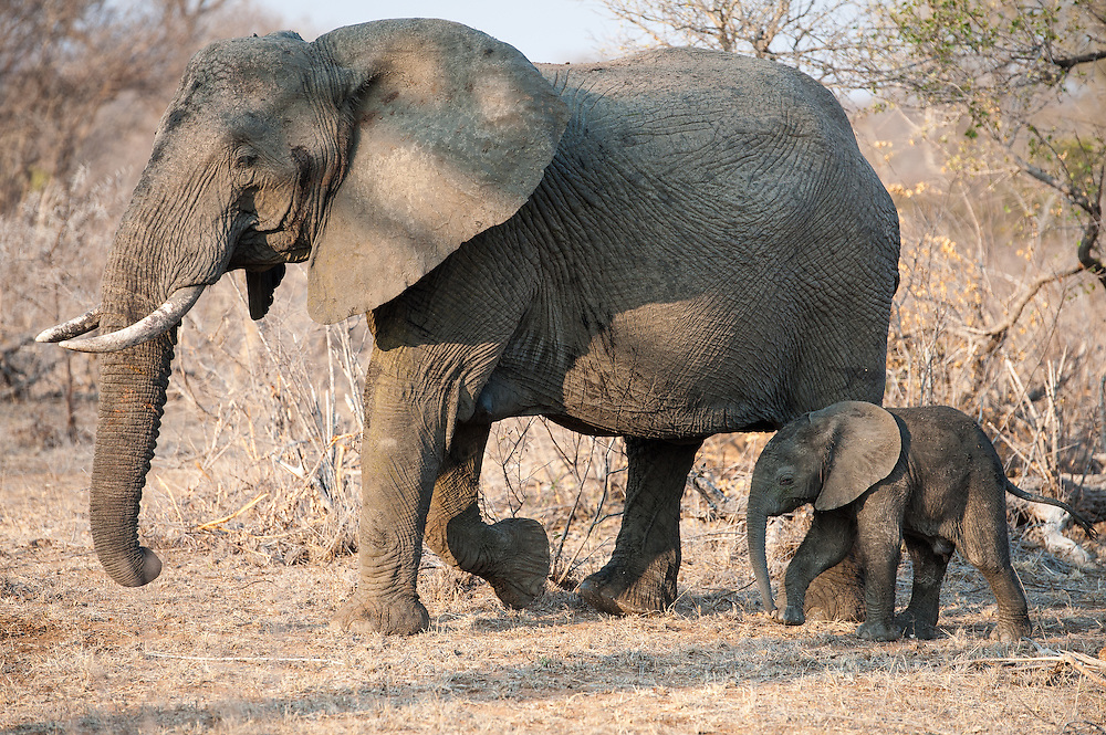 African Elephant female and baby (Loxodonta africana) walking through the bush