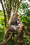 Balinese long-tailed Monkey (Macaca fascicularis), Sacred Monkey Forest, Ubud, Bali, Indonesia