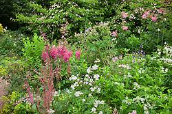 Corner of a summer border at Glebe Cottage. Cornus 'Norman Hadden', Astilbe 'Fanal', Knautia macedonica, Astrantia major, Alchemilla mollis, Fuchsia magellanica 'Versicolor' and Athyrium filix-femina