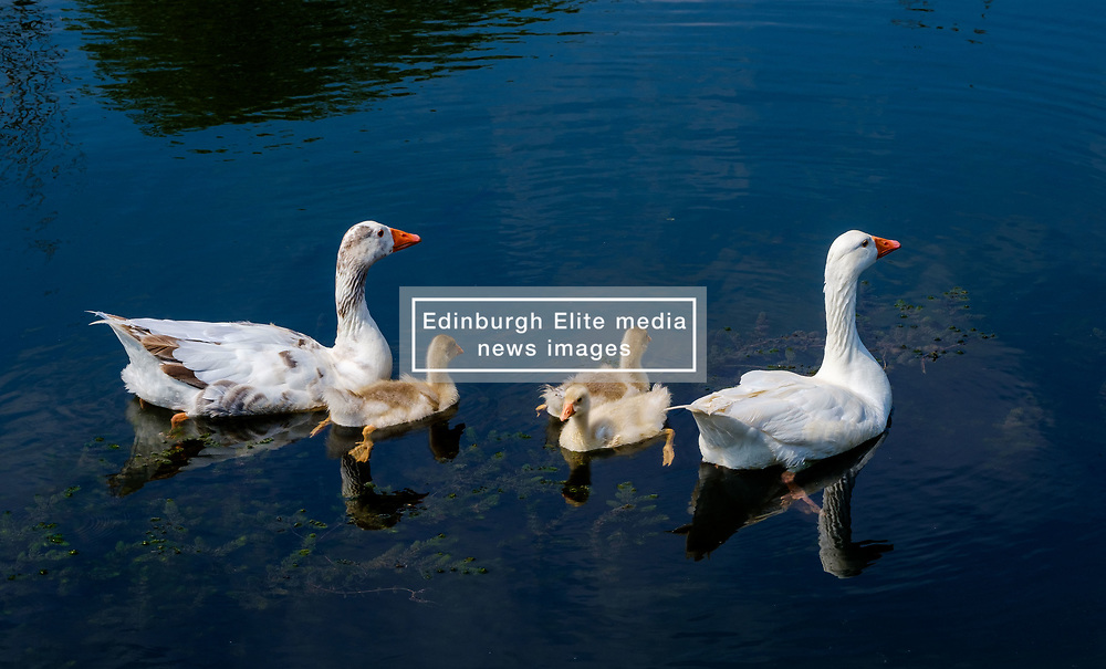 Ducks with their young on the River Somme at Chipilly, Hauts-de-France in northern France<br /> <br /> (c) Andrew Wilson | Edinburgh Elite media