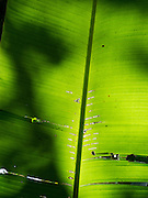 Detail of palm tree leaf, near Manzanillo, Limon, Costa Rica.