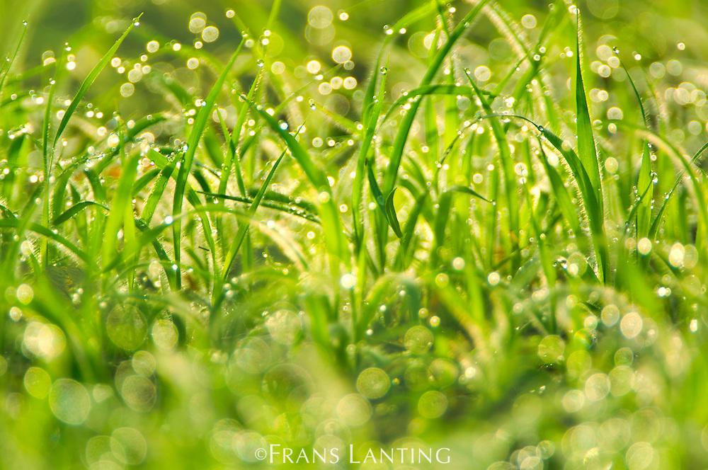 Morning dew on grass, Fongoli, Senegal