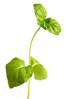 Closeup of fresh basil on white background