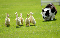© Licensed to London News Pictures.03/08/2016. Thornton Le Dale, UK. Sheepdog Holly rounds up young ducks during a sheepdog and handler demonstration at the annual Thornton-le-Dale Show, Pickering, North Yorkshire.  Photo credit: Anna Gowthorpe/LNP