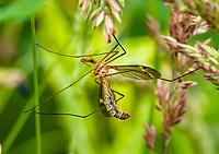 HALFWEG - langpoot mug.  insecten op de golfbaan , Amsterdamse Golf Club. (AGC)  . Insecteninventarisatie  COPYRIGHT KOEN SUYK
