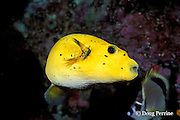 guineafowl puffer, Arothron meleagris, golden phase, Galapagos Islands, Ecuador,  ( Eastern Pacific Ocean )