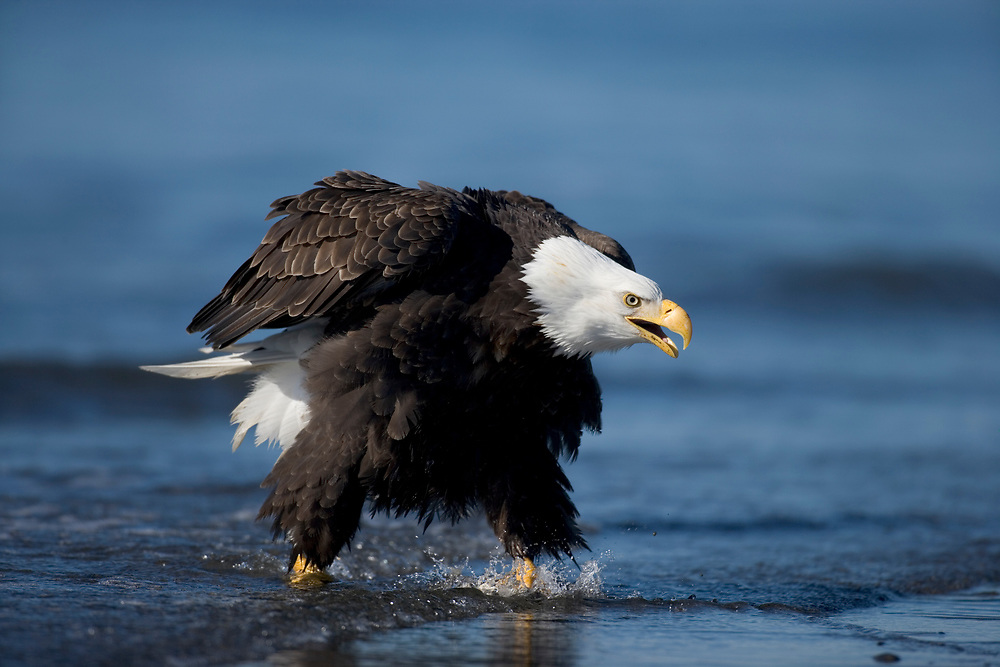 USA, Alaska, Homer, Bald Eagle (Haliaeetus leucocephalus) strikes aggressive posture while walking in surf along Kachemake Bay on winter morning