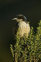 Island scrub-jay (Aphelocoma insularis) is endemic to Santa Cruz Island, California.  July 2002.