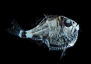 This handsome creature is the deep-sea hatchetfish Argyropelecus olfersi, found only in the eastern Atlantic - hatchetfish; eyes look up; light plates on body counter illuminate creating no shadow This hatchetfish Sternoptyx has many photophores beneath its body. Although this is not true bioluminescence, light is emitted from these same photophores. The glow is directed downward through light-guides, presumably to function as effective counterillumination seen only from below. [size of single organism: 4 cm] | Der Beilfisch (Argyropelecus olfersi). lebt in Tiefen bis zu 800 m. Während der Nacht steigt er aber in flachere Wasserschichten bis 100 m unter der Wasseroberfläche auf. Als Anpassung an dieses Leben in der Dämmerlichtzone hat der Beilfisch große Augen und an der Bauchseite eine Reihe von Leuchtorganen. Das bläuliche Licht an seiner Unterseite tarnt den Beilfisch, wenn Räuber von unten gegen das schwache Licht der fernen Oberfläche nach Beute suchen.