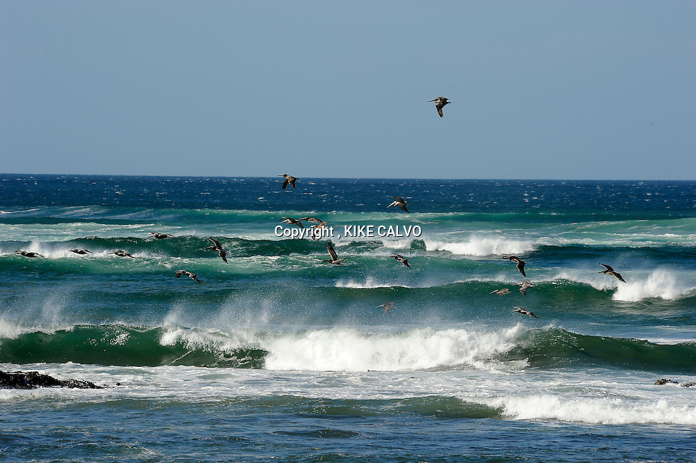 Brown pelicans ( Pelecanus occidentalis ) flying over the waves in Playa Avellanas.