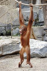 Sumatra Orangutan in Zoo Hagenbeck, Hamburg,  March 5, 2013. Photo by Imago / i-Images...UK ONLY