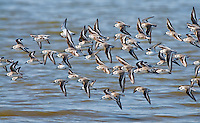 Sanderlings, Calidris alba, in flight, search for food on a beach in Cape May, NJ, during the spring migration. The circumpolar Arctic breeders, spend their winters in warmer climates such as South America, South Europe, Africa and Australia.