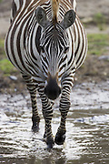 Plains Zebra<br /> Equus burchelli<br /> Maasai Mara Reserve, Kenya