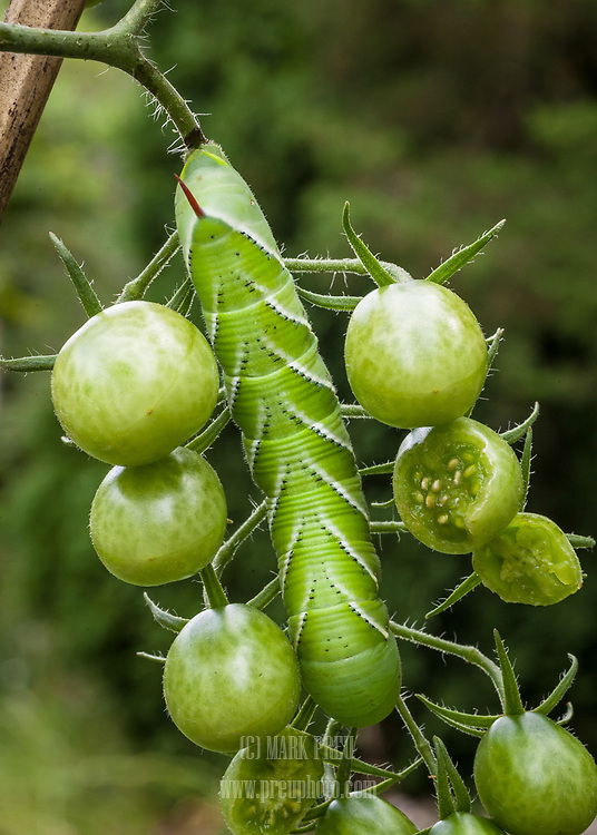 A hornworm devours cherry tomatoes