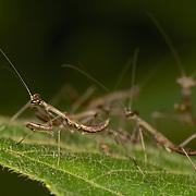 A Mantis Nymph in Kaeng Krachan National Park, Thailand.