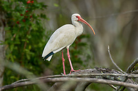 Arthur C Marshall Wildlife Reserve, Loxahatchee, Florida. White Ibis (Eudocimus albus) perched in tree