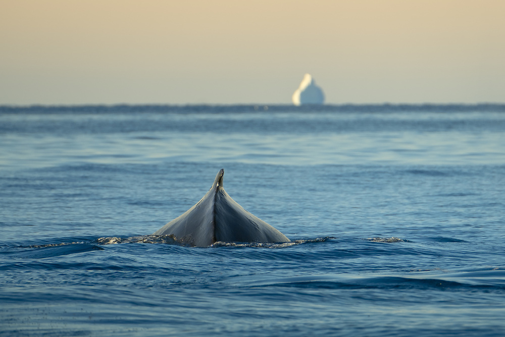 Around 15 species of whales are regular visitors to Greenlandic waters. One of them, Humpback whale, is easily recognisable on account of its humped dorsal fin, pictured above.
