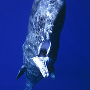 This was my first encounter with a sperm whale, a curious juvenile that pinged me with sonar and placed me on its head, then took one of my fins in its mouth. This whale had at some point investigated a longline, as it had a hook embedded in the crease of its jaw on the right side of its body, with fishing line trailing far back behind its fluke. I dived down to take a look at the hook, but the wound had long since healed over, making it impossible to attempt to remove the hook. This image is a film scan. This photograph received the Grand Prize at The Blue Earth Underwater Photo Contest in Japan in 2001.