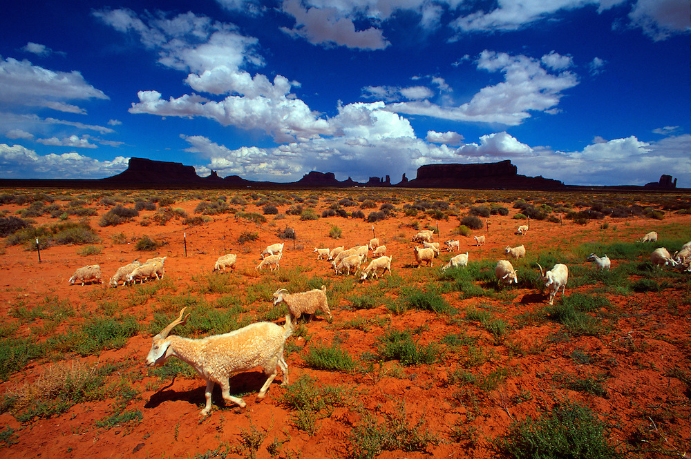 Sheep wondering the desert, Monument Valley, Utah/Arizona