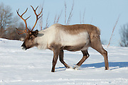 Reindeer roaming in the snow in arctic landscape at Kvaløysletta, Kvaloya Island, Tromso in Arctic Circle Northern Norway