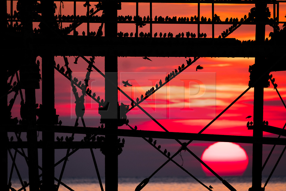 © Licensed to London News Pictures. 24/02/2018. Aberystwyth, UK. The setting sun , framed  behind Aberystwyth pier , picks out the silhouettes of some of the tens of thousands of tiny starlings as they  roost for the night, huddled together for warmth and safety,  on the forest of cast iron girders and beams underneath the town's distinctive Victorian era seaside attraction. Photo credit: Keith Morris/LNP