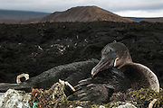 Flightless Cormorant (Phalacrocorax harrisi) on nest<br /> Isabela Island. Western Isles of Galapagos Islands<br /> ECUADOR.  South America<br /> These are the largest of the world's 29 cormorant species and the only one that has lost the power of flight. They live very locally to the shores of Isabela and Fernandina Islands and although they can not fly still retain vestigial wings which help them to balance when jumping from rock to rock. As they do not produce much oil to waterproof their wings they must dry out their wings when they return to shore. Nests are constructed of seaweed, flotsam and jetsam and are never more than a few meters from shore. Usually up to 3 eggs are layed.<br /> ENDEMIC TO GALAPAGOS
