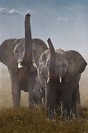 Elephants raising trunks to sniff for danger, Serengeti National Park, Tanzania.