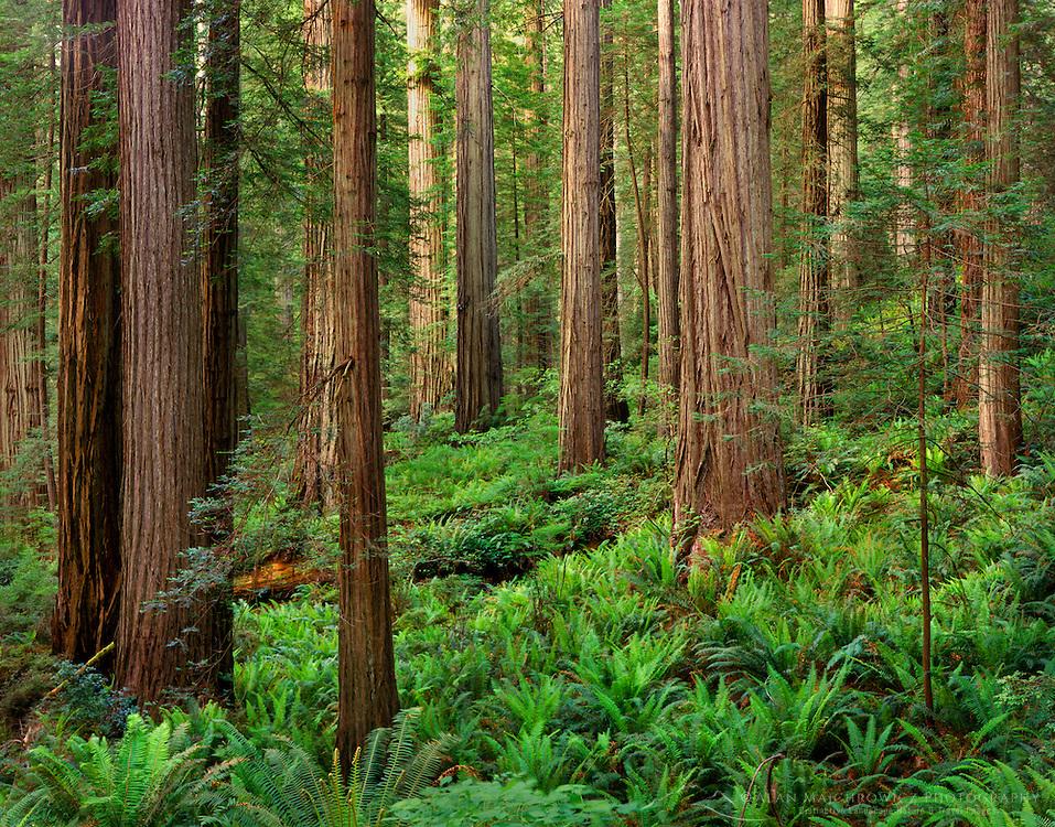 Redwood Forest, Prairie Creek Redwoods State Park California USA