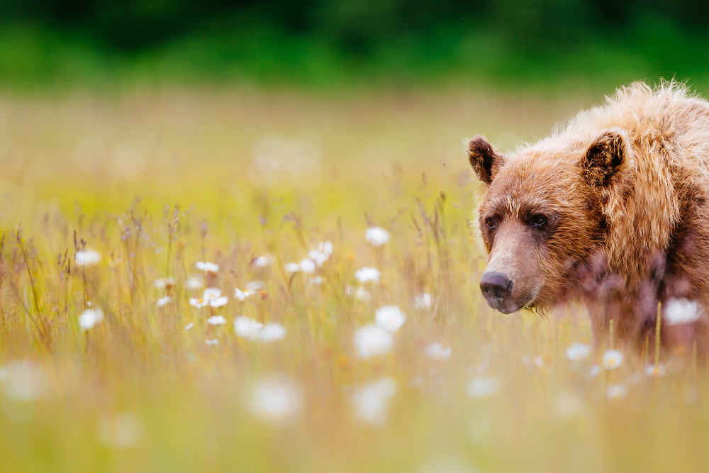 A female brown bear feeds on sedge grasses and daisies in Lake Clark National Park Alaska at sunset.