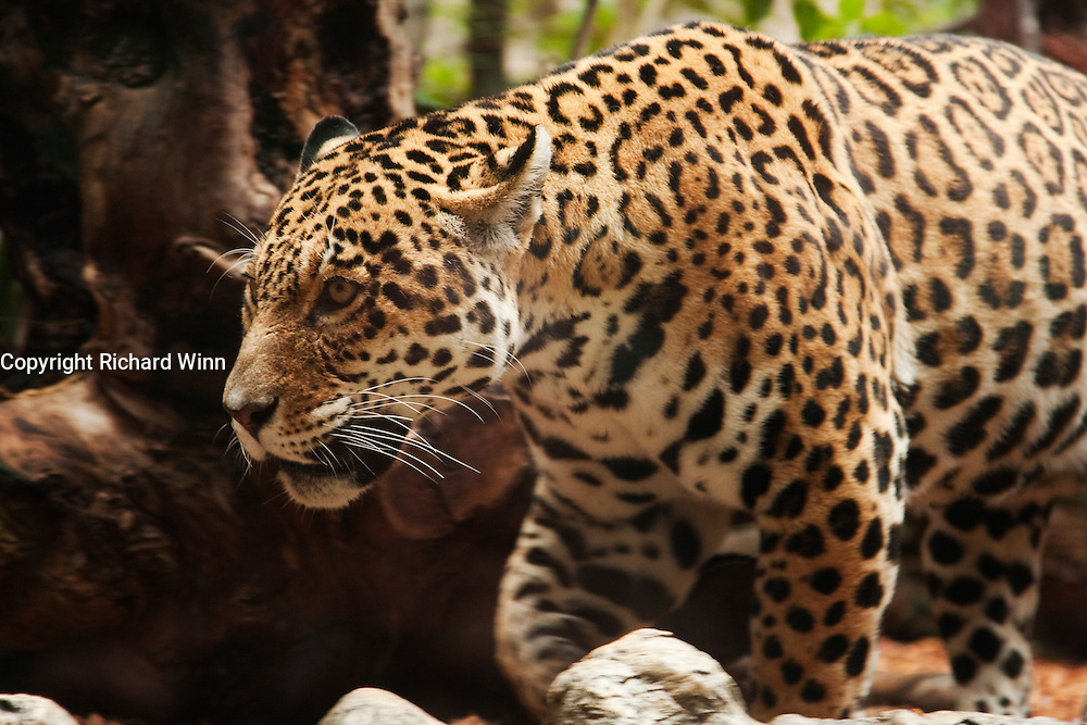 Closeup of a captive jaguar in naturalised surroundings.
