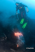 diver Bud Turpin and erupting pillow lava at ocean entry from Kilauea Volcano, Hawaii Island ( the Big Island ), <br /> Hawaii, U.S.A. ( Central Pacific Ocean ) MR 381