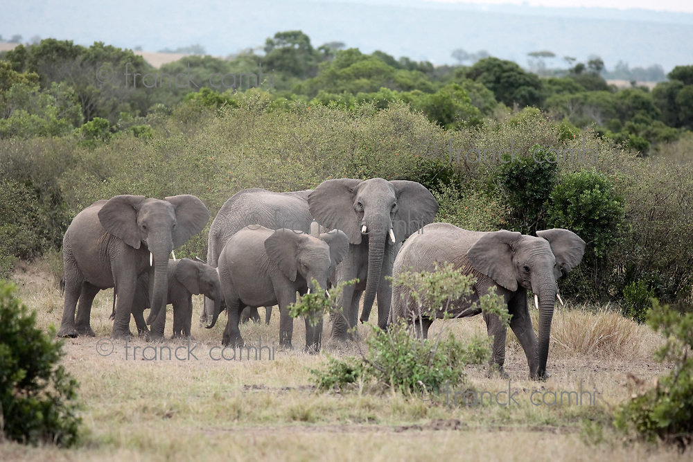 bunch of elephants ,Elephantidae, in the bush of the masai reserve in kenya africa