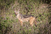 Black-backed Jackal near Lake Nakuru, Kenya.