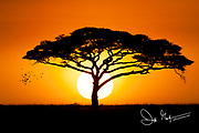 The sunrise over an acacia tree in the Serengeti National Park.