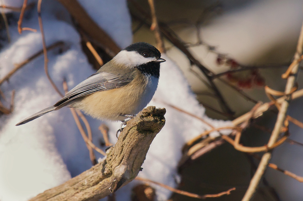 Friendly and curious, the Black-Capped Chickadee is a delightful visitor to backyard feeders. It was named Maine's state bird in 1927.