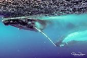 Tonga Whales