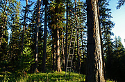 Hunting tree stand in an old-growth western larch forest. Yaak Valley in the Purcell Mountains, northwest Montana.