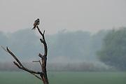 Eurasian hobby (Falco subbuteo)<br /> Bharatpur National Park <br /> Rajasthan, India<br /> Range: Africa, Europe and Asia