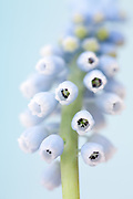 Muscari 'Aleyna' - grape hyacinth