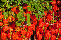 Amsterdam, Holland. Orange lantern flowers at a market.
