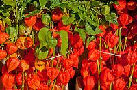 Amsterdam, Holland. Orange lantern flowers at a market.