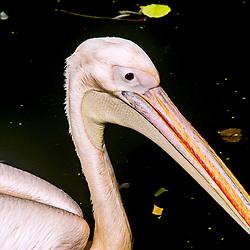 Pelicano-branco (Pelecanus onocrotalus). Registro feito em 2009. Animal em Cativeiro.<br /> <br /> <br /> <br /> <br /> ENGLISH: great white pelican. Picture made in 2009. Captive animal.