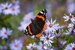 Red admiral butterfly on Aster sedifolius. Michaelmas daisy