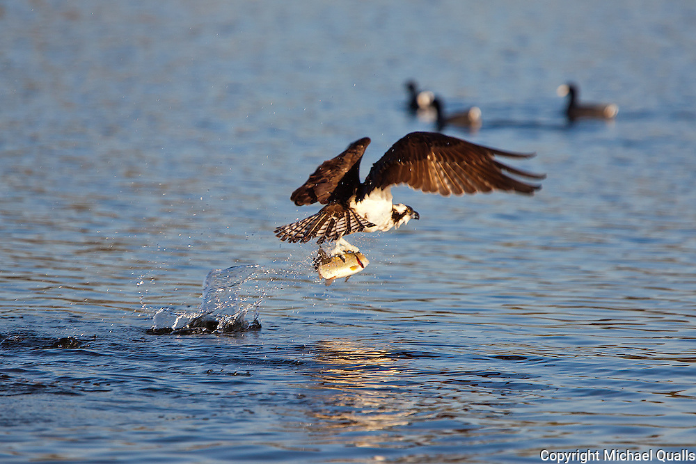 "Osprey on takeoff with prey -  after the ""big splash""."