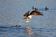 "Osprey on takeoff with prey -  after the ""big splash""."