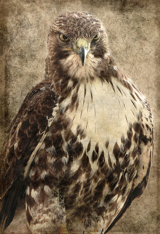 Portrait of a Juvenile Red Tailed Hawk