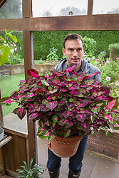 Moving tender container plants into the greenhouse  to store through the winter months. Coleus syn. Solenostemon