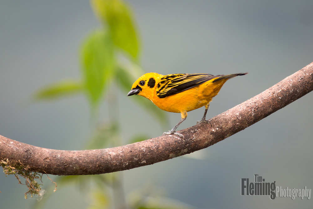 A golden tanager perched on a branch in the Tandayapa Valley, Ecuador