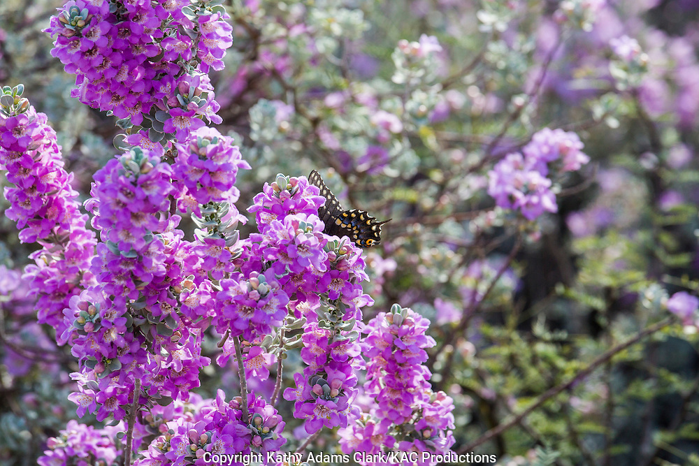 Cenizo blooms; Leucophyllum frutescens; with Black Swallowtail; Papilio polyxenes; at Big Bend National Park, Texas.