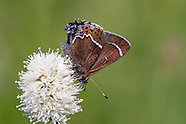 Callophrys spinetorum - Thicket Hairstreak